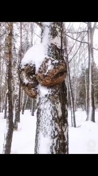 Nấm Chaga Sibiri Liên Bang Nga - Hỗ Trợ Điều Trị Ung Thư, Thần Dược Chống Lão Hóa.